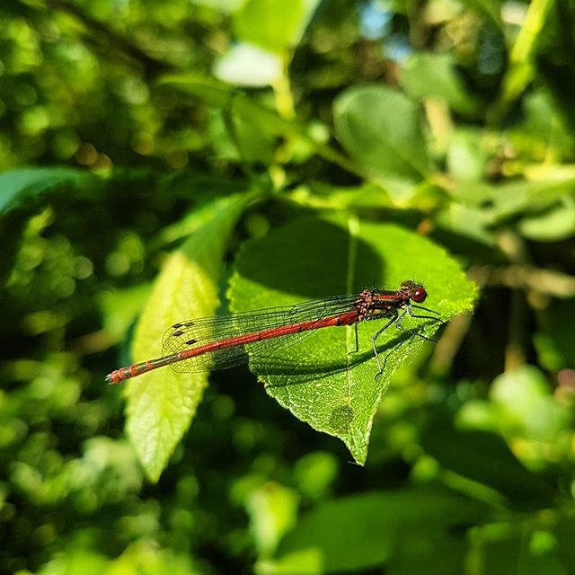#dragonfly - edition #red